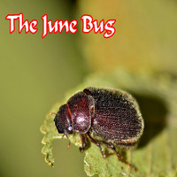 Mike Jones - The June Bug