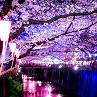 THE BLACK TANKS - Japanese Magnificent Scenery - Midnight Cherry Blossom