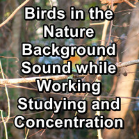 Birds - Birds in the Nature Background Sound while Working Studying and Concentration