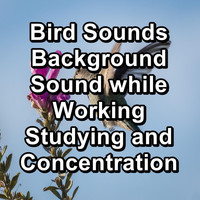 Birds - Bird Sounds Background Sound while Working Studying and Concentration